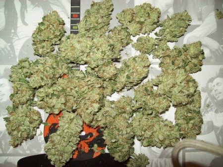 The Legend of OG Kush